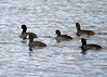 "<div class=""jaDesc""> <h4> American Coot Group Paddling - October 10, 2016</h4> <p>As soon as this small group of American Coots saw me approaching, they started paddling to deeper water.  Montezuma NWR, main pool.</p><p> </p></div>"