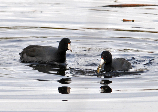 "<div class=""jaDesc""> <h4> American Coot Catches Crayfish - November 10, 2014</h4> <p> One of the Coots was hungry and did a quick dive, coming up with a Crayfish.</p> </div>"