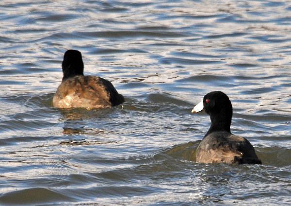 "<div class=""jaDesc""> <h4> American Coot Pair Paddling - October 28, 2011</h4> <p>This pair of American Coots came out from a thicket of reeds and quickly paddled away from me. </div>"