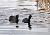 "<div class=""jaDesc""> <h4> American Coot Pair Paddling Together - November 10, 2014</h4> <p> This Coot pair were sticking close together as they paddled around the main pool at Montezuma NWR.</p> </div>"
