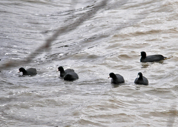 "<div class=""jaDesc""> <h4> Coots Riding Swells - March 31, 2014 - Video Attached</h4> <p> A small group of American Coots and one Mallard were riding the swells along the Southeastern shore of Cayuga Lake.  The wind was blowing 30 MPH and I had a guard rail between me and rush hour Ithaca bound traffic.  If I had been riding those swells in a boat, I would most likely have been sick.</p>  </div> <center> <a href=""http://www.youtube.com/watch?v=tD32kkf_7Ac""  style=""color: #0000FF"" class=""lightbox""><strong> Play Video</strong></a>"