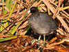 "<div class=""jaDesc""> <h4> American Coot Resting in Reeds - October 28, 2011</h4> <p>This lone American Coot was well hidden in a dense thicket of reeds at the Montezuma Wildlife Preserve main pool. There were a pair of Northern Harriers circling nearby, so he was being extra cautious.</p> </div>"
