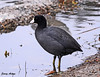 "<div class=""jaDesc""> <h4> American Coot Wading in Shallows - November 4, 2009</h4> <p> This American Coot was wading along the edge of the water park and pecking at bugs in the water like a chicken pecks at the ground.</p> </div>"