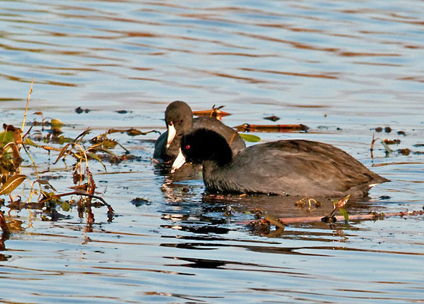 "<div class=""jaDesc""> <h4> Adult & Juvenile American Coot Pair Dabbling - October 28, 2011</h4> <p>This pair of American Coots was dabbling together in the main pool at Montezuma Wildlife Refuge. This area is a popular stop-over point for them during fall migration.</p> </div>"