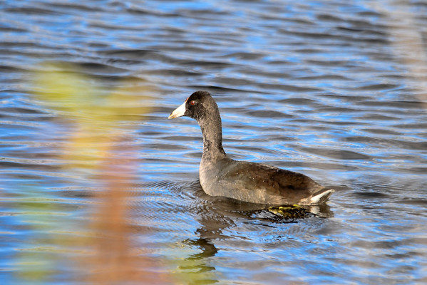 "<div class=""jaDesc""> <h4> Immature American Coot - October 10, 2016</h4> <p>This immature American Coot was comfortable paddling by along the edge grasses right in front of me.  Montezuma NWR, main pool.</p><p> </p></div>"