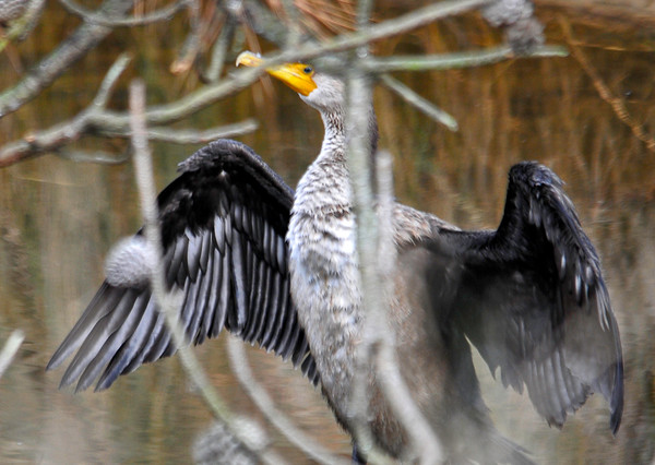 """<div class=""""jaDesc""""> <h4> Cormorant Drying Feathers - December 16, 2014</h4> <p> The second Double-crested Cormorant was drying its feathers.  Getting him in focus through the creek-side bushes was a challenge.  Chincoteague Island, VA.</p> </div>"""