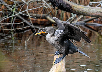 Cormorant Adjusting Balance  - November 13, 2018 This Cormorant moved its feet and lost balance, raised wings to recover.  Notice the webbed foot wrapped around the end of the log perch.  Chincoteague, VA