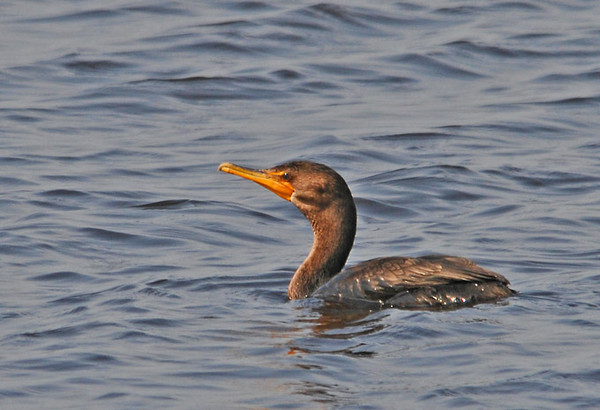 "<div class=""jaDesc""> <h4> Cormorant in Afternoon Sun - September 2, 2011</h4> <p> I saw a pair of Double-Crested Cormorants at the Montezuma Wildlife Refuge. This one was diving for fish, while the other one was drying its wings.</p> </div>"