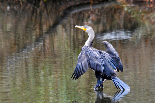 "<div class=""jaDesc""> <h4> Cormorant Tail Dip - November 7, 2013</h4> <p>  It almost looks like the young Cormorant is balancing with his tail in the water.  He was just pulling his wings in after drying them in the afternoon sun.</p> </div>"