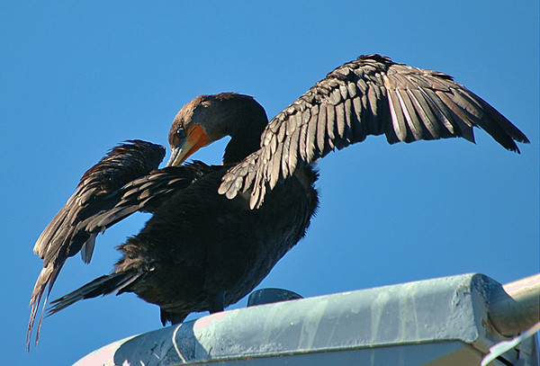 "<div class=""jaDesc""> <h4> Cormorant Grooming - October 2005</h4> <p> He then proceeded to make certain that all his feathers were clean and straight.</p> </div>"