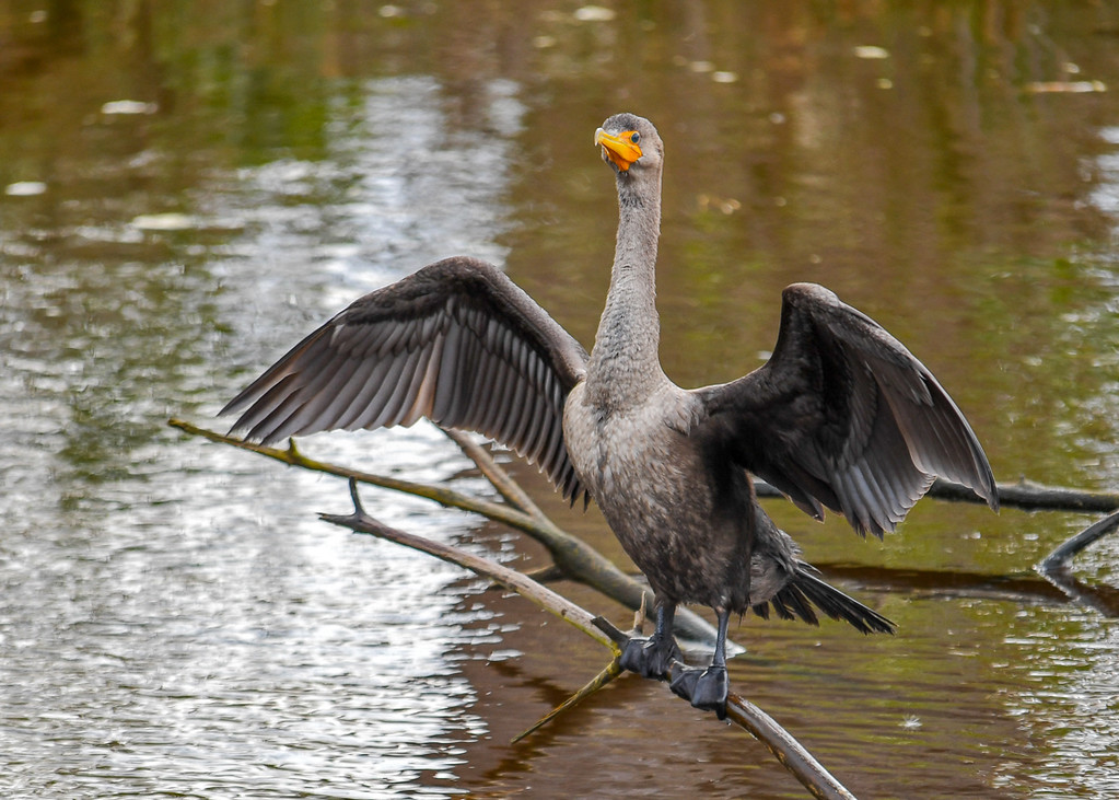 """<div class=""""jaDesc""""> <h4> Immature Cormorant Drying Wings - Looking at Me - October 23, 2017</h4> <p>Notice how her webbed feet have joints and are wrapped around the branch.  Chincoteague NWR, VA</p> </div>"""