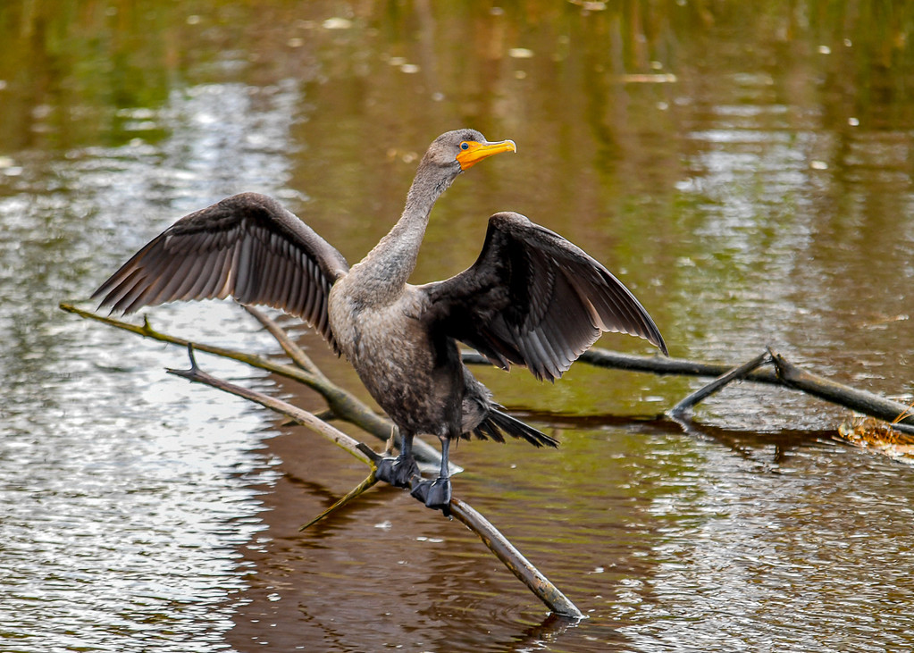 """<div class=""""jaDesc""""> <h4> Immature Cormorant Drying Wings - Looking Left - October 23, 2017</h4> <p> She would methodically look in each direction to make sure she was always aware of whatever was going on around her.  Chincoteague NWR, VA</p> </div>"""