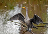 "<div class=""jaDesc""> <h4> Cormorant Drying Wings - Looking Right - October 23, 2017</h4> <p> This immature Cormorant (lighter gray and mottled breast) landed on a branch sticking out of a roadside pool to dry her wings.  Chincoteague NWR, VA</p> </div>"