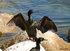 "<div class=""jaDesc""> <h4> Cormorant Drying Wings - November 3, 2009</h4> <p> There were a lot of Double-crested Cormorants perched on protruding rocks in Monterey Bay, California.  This guy had just finished fishing and was air drying his wings, a common behavior of cormorants.</p> </div>"
