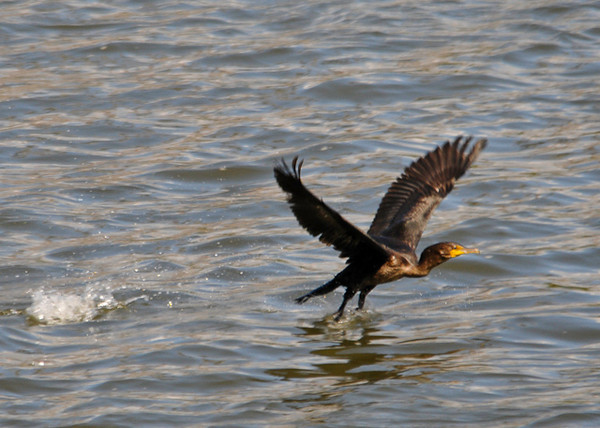 "<div class=""jaDesc""> <h4> Cormorant Take-off - September 20, 2013</h4> <p>  At the Conowingo Dam, there were dozens of Cormorants diving for fish in the rapids below the dam.  They would fly up close to the dam spillways and work their way down the Susquehanna River.</p> </div>"