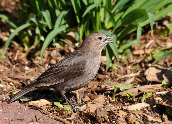 """<div class=""""jaDesc""""> <h4> Female Cowbird Ground Feeding - May 11, 2014</h4> <p> Millet seed is the favorite for Cowbirds.  Here a female is balancing a seed on her tongue before shelling it to eat the kernel.</p> </div>"""