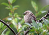 "<div class=""jaDesc""> <h4>Cowbird Moves to Red-winged Blackbird's Branch - July 10, 2016</h4> <p> As soon as the female Red-winged Blackbird left, the female Cowbird moved to the other branch.  I guess that was the whole point of the staring contest.</p> </div>"
