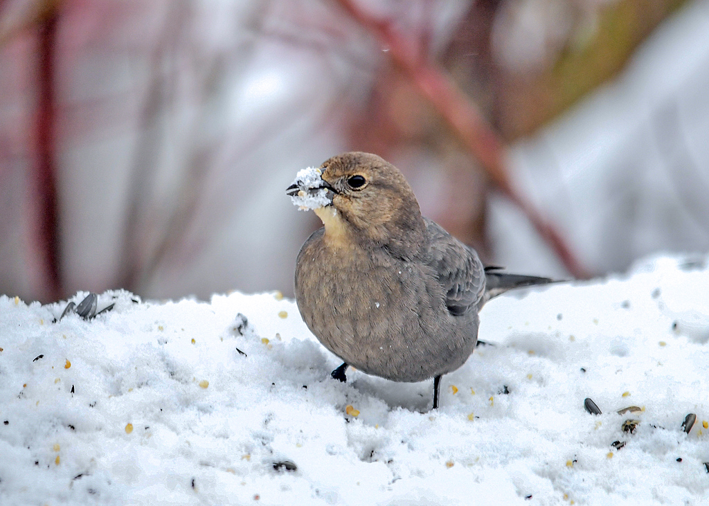 <h4>Female Cowbird with Snowy Beak - March 3, 2018</h4> <p>The wet snow was sticking to the female Cowbird's beak as she was pecking for white millet seeds.</p>