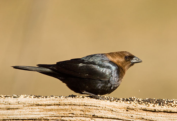 "<div class=""jaDesc""> <h4> Male Cowbird Eating Seed - March 23, 2009</h4> <p> This morning we had 2 male Cowbirds at the feeders.  The first one showed up a few days ago.  Normally the females show up within a week.</p> </div>"