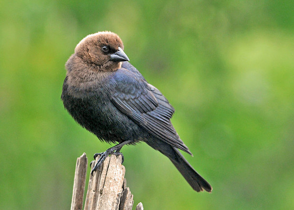 "<div class=""jaDesc""> <h4> Male Cowbird Looking Over Shoulder - May 9, 2010</h4> <p> This male Cowbird was trying to decide which sunflower seed feeder he was going to visit.</p> </div>"