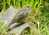 """<div class=""""jaDesc""""> <h4> Juvenile Cowbird - July 5, 2009</h4> <p> This juvenile Cowbird was making her first visit to the feeder area.  She was not accompanied by her parents.</p> </div>"""