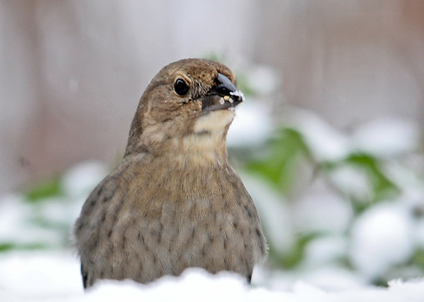 "<div class=""jaDesc""> <h4> Female Cowbird in Snow Storm - December 10, 2014</h4> <p> We have never seen Cowbirds this late in the season.  A pair stopped by today during a snow storm.  I think they are sorry they waited so long to go South.</p> </div>"