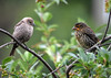 "<div class=""jaDesc""> <h4>Cowbird / Red-winged Blackbird Staring Contest - July 10, 2016</h4> <p> An adult female Cowbird and a juvenile female Red-winged Blackbird had a 5 minute staring contest - no fussing, just staring.  The Red-winged Blackbird finally flew off.</p> </div>"