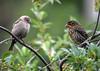 "<div class=""jaDesc""> <h4>Cowbird / Red-winged Blackbird Staring Contest - July 10, 2016</h4> <p> An adult female Cowbird and a juvenile female Red-winged Blackbird had a 5 minute staring contest - no fussing, just staring.  The Red-winged Blackbird finally flew off.</p> </div>"