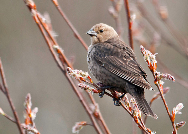 "<div class=""jaDesc""> <h4> Female Cowbird in Budding Serviceberry Tree - April 21, 2013</h4> <p> Our 8 Cowbirds have paired up after much showing off displays by the males.</p> </div>"
