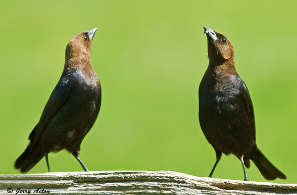 """<div class=""""jaDesc""""> <h4> Male Cowbirds Competing in Song - July 4, 2009</h4> <p> The male Cowbirds are always testing who is dominant.   They will stretch their heads high and sing.  They sometimes do this 4 to 5 times before they settle who is dominant. </p> </div>"""