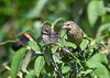 "<div class=""jaDesc""> <h4>Juvenile Cowbirds Grooming - July 17, 2016</h4> <p> These two juvenile female Cowbirds were sticking close together as they took turns grooming in our viburnum bush.  They will lose their yellow highlights as they mature.</p> </div>"