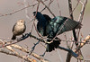 "<div class=""jaDesc""> <h4> Cowbird Courtship - March 19, 2010</h4> <p> The male Cowbird will spread his wings in front of the female to impress her.  I am not sure this gal was impressed.</p> </div>"