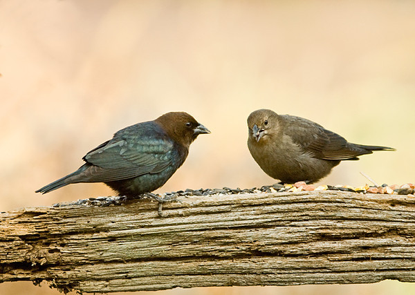 """<div class=""""jaDesc""""> <h4> Cowbird Pair Migrating - November 10, 2008</h4> <p> This Cowbird pair was passing through on their way south yesterday.  I had not seen any of these guys for about 2 months.</p> </div>"""