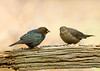 "<div class=""jaDesc""> <h4> Cowbird Pair Migrating - November 10, 2008</h4> <p> This Cowbird pair was passing through on their way south yesterday.  I had not seen any of these guys for about 2 months.</p> </div>"