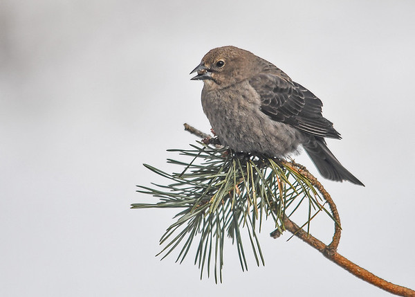 <h4> Female Cowbird on Red Pine Branch - March 11, 2017</h4> <p>She found a shelled sunflower kernel and landed on this perch to eat it.</p>