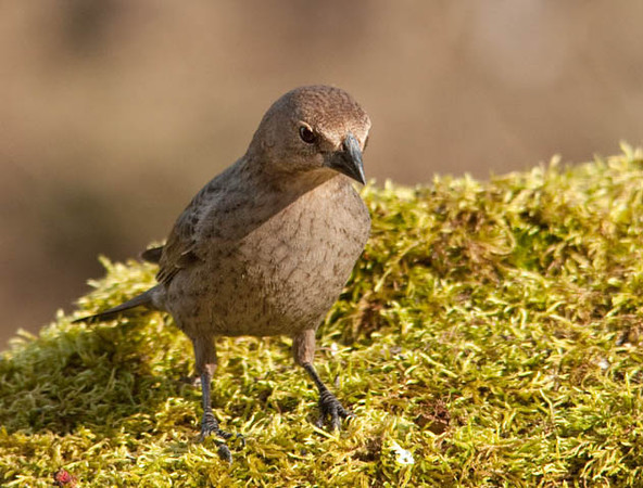 """<div class=""""jaDesc""""> <h4> Female Cowbird on Moss Patch - May 8, 2011</h4> <p> We are up to 16 Cowbirds now, 8 males and 8 females. This female landed briefly on a moss covered rock in our front yard. They devour lots of sunflower seed every day.</p> </div>"""