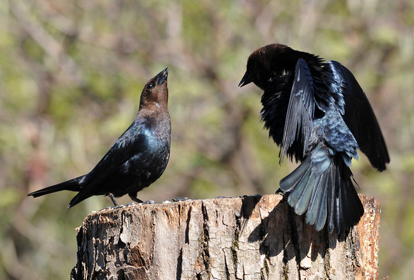 """<div class=""""jaDesc""""> <h4> Male Cowbird Dominance Displays - May 11, 2014</h4> <p> These male Cowbirds are showing the two typical dominance displays; flaring their wings and holding their head the highest.  I'm not sure which one wins.</p> </div>"""
