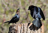 "<div class=""jaDesc""> <h4> Male Cowbird Dominance Displays - May 11, 2014</h4> <p> These male Cowbirds are showing the two typical dominance displays; flaring their wings and holding their head the highest.  I'm not sure which one wins.</p> </div>"