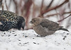<h4> Female Cowbird Eating Millet Seed - March 11, 2017</h4> <p>Five Cowbirds were trying to compete with about 300 Red-winged Blackbirds, Starlings, and Grackles for food today.  They were holding their own.</p>