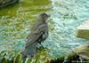 """<div class=""""jaDesc""""> <h4> Female Cowbird in Mid Bath - July 2006 </h4> <p> This female cowbird was taking a short break during a vigorous splashing bath. </p> </div>"""