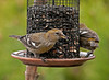 """<div class=""""jaDesc""""> <h4> Female White-winged Crossbills - April 12, 2011</h4> <p> Two female White-winged Crossbills flew into our feeder area for about 5 minutes this morning. They enjoyed some sunflower seeds, then flew off to the north. Their principal diet is conifer seeds. Their unique crossbill beak allows them to spread cone scales while removing the seed with their tongue.</p> </div>"""