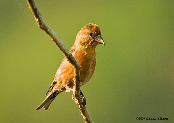 """<div class=""""jaDesc""""> <h4> Young Male Red Crossbill - July 26, 2007</h4> <p> Imagine my surprise when this young male Red Crossbill showed up in a tree by our water garden pond. They use their crossed bill to pry seeds out of pine cones.  They are attracted to the many spruce trees we have around here. I haven't seen him or any adults since this sighting. </p> </div>"""