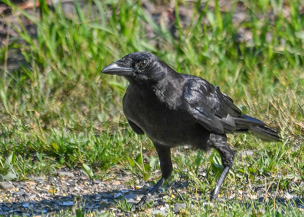 "<div class=""jaDesc""> <h4>Juvenile Crow Close-up - July 2, 2018</h4> <p>This was the first time the adult Crows brought their two youngsters in for breakfast.  They have been hanging out in the trees across the road since they left the nest.</p>  </div>"