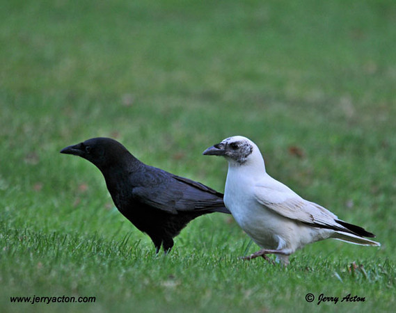 "<div class=""jaDesc""> <h4> Rare Find - Black & White Crow Pair - November 7, 2010 </h4> <p> It was really nice to see this pair together to show the dramatic color contrast.  I think they make a pretty handsome couple.</p> </div>"