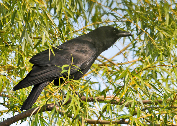 """<div class=""""jaDesc""""> <h4> Mom Crow Watching Over Juvenile - June 7, 2014</h4> <p> Mother Crow was perched in our willow tree watching the juvenile explore the cracked corn that I toss on the driveway.  </p> </div>"""