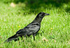 "<div class=""jaDesc""> <h4> Crow in Backyard - July 1, 2007 </h4> <p> I don&#39;t realize how large Crows really are until I saw one up close. This is one of a pair that have been visiting our backyard lately.  They have discovered that I toss peanuts on the ground for the Blue Jays. </div>"