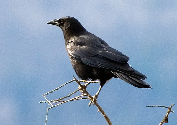 """<div class=""""jaDesc""""> <h4> Sentinel Crow - December 2006 </h4> <p> When there are more than 2 Crows feeding in our horse pastures, one of the Crows will perch in the top of our tall tamarac tree.  He is the sentinel, giving an alarm call if he sees anything to warn the others about. </div>"""