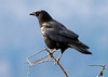 "<div class=""jaDesc""> <h4> Sentinel Crow - December 2006 </h4> <p> When there are more than 2 Crows feeding in our horse pastures, one of the Crows will perch in the top of our tall tamarac tree.  He is the sentinel, giving an alarm call if he sees anything to warn the others about. </div>"