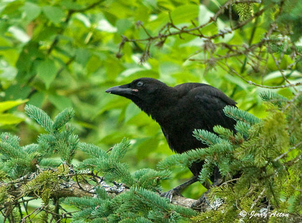"""<div class=""""jaDesc""""> <h4> Juvenile Crow Waiting for Mom - July 8, 2009 </h4> <p> It is humorous to see a juvenile Crow who is the same size as the adult crying to be fed.  Young Crows sound a lot like a duck during the first several months. </div>"""