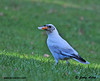 """<div class=""""jaDesc""""> <h4> Rare Find - White Crow Posing with Bread - November 7, 2010 </h4> <p> When the Crows cleaned up one round of bread, I tossed another round out from my blind.  I went through 2 large loaves of bread during the photo session.</p> </div>"""